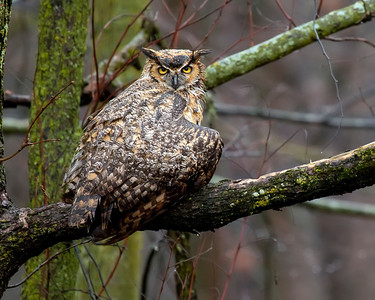 Great Horned Owl at Fermilab #1