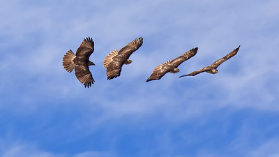 Four image superposition of a red tailed hawk soaring above Fermilab